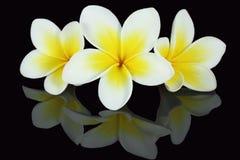 Frangipanni Blumen stockbilder