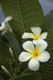 Frangipanni Blumen lizenzfreie stockbilder
