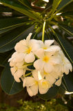 Frangipanni (Plumeria alba) Στοκ Εικόνες