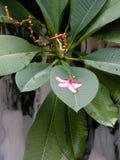 Frangipanni (Plumeria rubra) Royalty Free Stock Photo