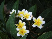 Frangipanni (Plumeria rubra) Royalty Free Stock Photography