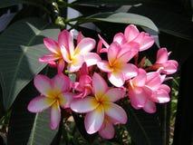 Frangipanni (Plumeria rubra) Royalty Free Stock Photos