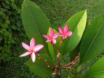 Frangipanni (Plumeria rubra) Royalty Free Stock Images