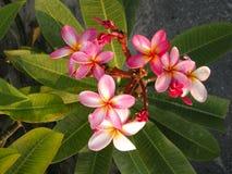 Frangipanni (Plumeria rubra) Stock Photos