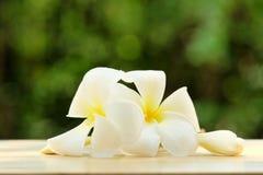 Frangipani on green bokeh background. White tropical flowers on green bokeh background Royalty Free Stock Photography