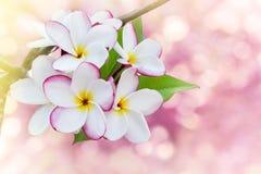frangrant plumeria ή frangipani λουλουδιών στο υπόβαθρο bokeh Στοκ εικόνες με δικαίωμα ελεύθερης χρήσης