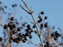 Frangula alnus Alder Buckthorn fruit Stock Image