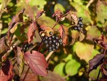 Frangula alnus Alder Buckthorn fruit Royalty Free Stock Photo
