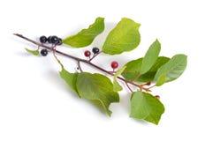 Frangula-Alnus, allgemein bekannt als der Faulbaum, glatte BU stockfotos