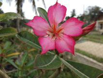Franhipani flowera. Frangipani flowers in the yard add to the beauty of the house, this frangipani flower there are two colors, white and pink Royalty Free Stock Images