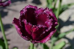 Franja Tulip Close Up de lujo Fotos de archivo