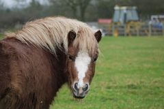 Frank the shetland pony posing. For the camera in a field in rural england Stock Image