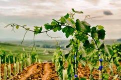 Franken wina winogrona na winogradzie Przygotowywającym dla żniwa volkach zdjęcia royalty free