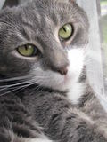 Frankie Cat. A soft eyed gray and white  cat gazing at the camera Stock Images