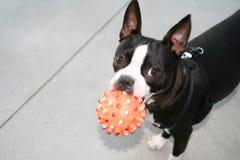Frankie com brinquedo Nubby Imagens de Stock