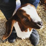 Frankie. The domesticated goat royalty free stock photography