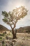 Frankincense drzewo Zdjęcie Royalty Free