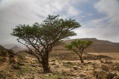 Frankincense drzewo w Salalah Zdjęcia Stock