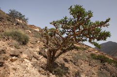 Frankincense tree Stock Image