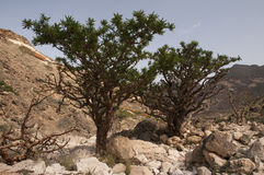 Frankincense tree. In Dhofar mountain, Oman Stock Images