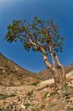 Frankincense tree. In Dhofar, Oman Stock Photography