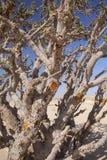 Frankincense tree Stock Image