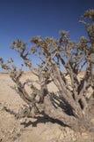 Frankincense tree. Boswellia tree - frankincense, olibanum-tree, in Dhofar, Oman Stock Photography