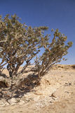 Frankincense tree Royalty Free Stock Images