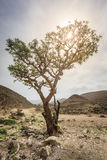 Frankincense tree Royalty Free Stock Photo