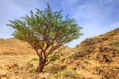 Frankincense tree Royalty Free Stock Image