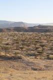 Frankincense tree. In Wadi Dawkah Frankincence Nature Resort. Dhofar mountain, Oman Royalty Free Stock Image