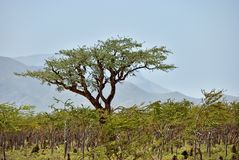 Boswellia, frankincense tree, Socotra island, Yemen. Frankincense Trees, Boswellia sacra, olibanum tree, Homhil Plateau, Socotra Island, Yemen Stock Image
