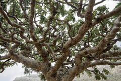 Frankincense Trees, Boswellia sacra, olibanum-tree royalty free stock photos