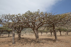 Frankincense Trees, Royalty Free Stock Photography