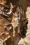 frankincensetree Royaltyfria Foton