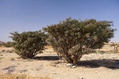 Frankincense. Boswellia tree - frankincense, olibanum-tree, in Dhofar, Oman Royalty Free Stock Photography