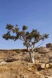 Frankincense. Boswellia tree - frankincense, olibanum-tree, in Dhofar, Oman Stock Photography