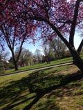 Franklin och Marshall Cherry Blossoms royaltyfria foton
