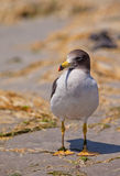 Franklin's Gull close-up Stock Images