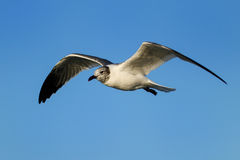 Franklin's Gull in flight Stock Images