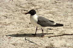 Franklin`s Gull Larus pipixcan Royalty Free Stock Images