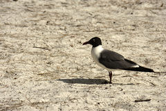 Franklin`s Gull Larus pipixcan Royalty Free Stock Image