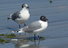 Franklins Gull, Leucophaeus pipixcan Royalty Free Stock Images