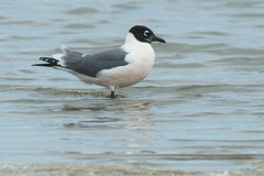 Franklin`s Gull Royalty Free Stock Photography