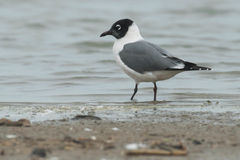 Franklin`s Gull Stock Images