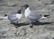 Franklin's Gulls Royalty Free Stock Image