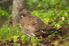 Franklin's Spruce Grouse Royalty Free Stock Photography