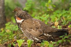 Franklin's Spruce Grouse Stock Photography