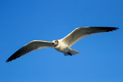 Franklin's Gull in flight Royalty Free Stock Photo