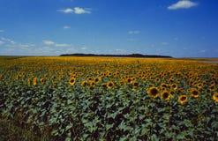 Frankreich: Sonnenblumenfeld im Rennes-les-Chateau stockfotografie